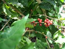 PURE Nicaragua Matagalpa Kaffeebohnen